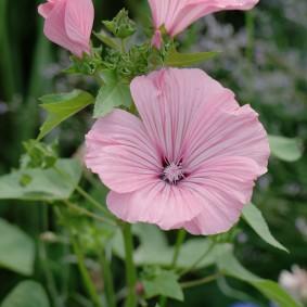 Раскрывшийся цветок на кусту лавареты