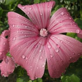 Цветок лавареты после полива из распылителя