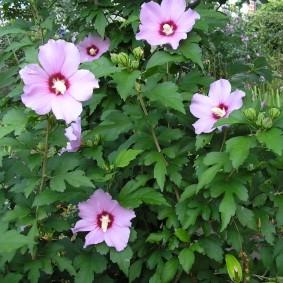 Сиреневые цветки с темной сердцевиной