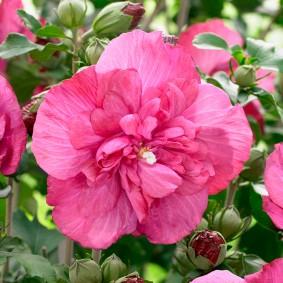Махровый цветок розового окраса
