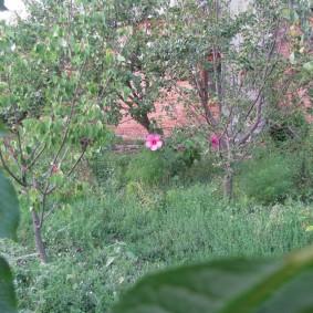 Одиночный гибискус между плодовыми деревьями