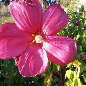 Крупный цветок с желтым пестиком