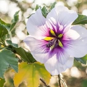 Сиренево-белый цветок многолетнего гибискуса