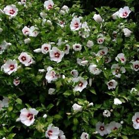 Усыпанный цветами куст садового гибискуса