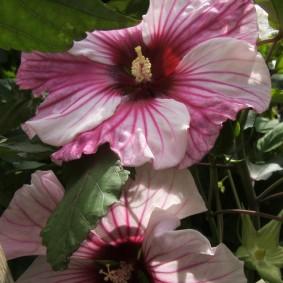 Пестрая окраска цветков однолетнего гибискуса