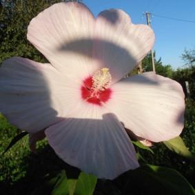 Бело-розовый цветок большого диаметра
