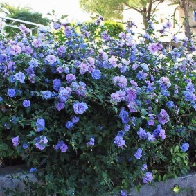Сиренево-голубые цветки на большом кусту гибискуса