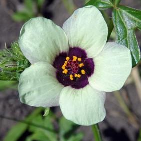 Темно-фиолетовая сердцевина цветка с белыми лепестками