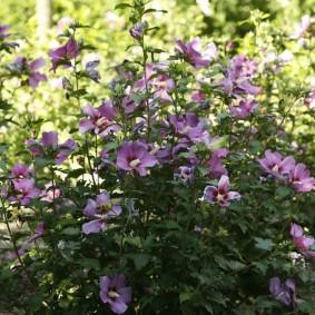 Фото цветущего гибискуса в ландшафте сада