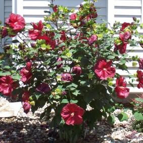 Розово-красный гибискус на дачной клумбе