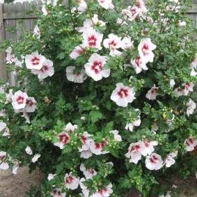 Травянистый гибискус в период цветения