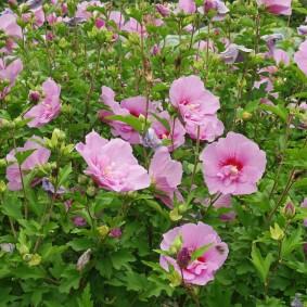 Розовые цветки на тонких стебельках