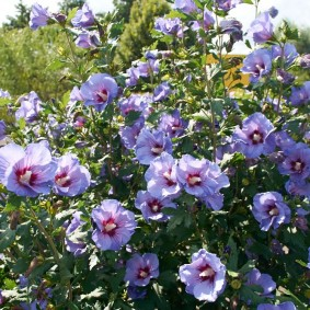 Пышное цветение гибискуса на загородной даче