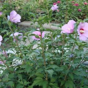 Тонкие стебельки с красивыми цветками