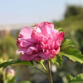 Махровый бутон садового цветка