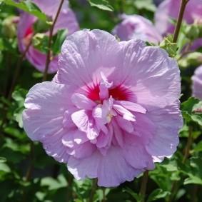 Розовый цветок с махровыми лепестками