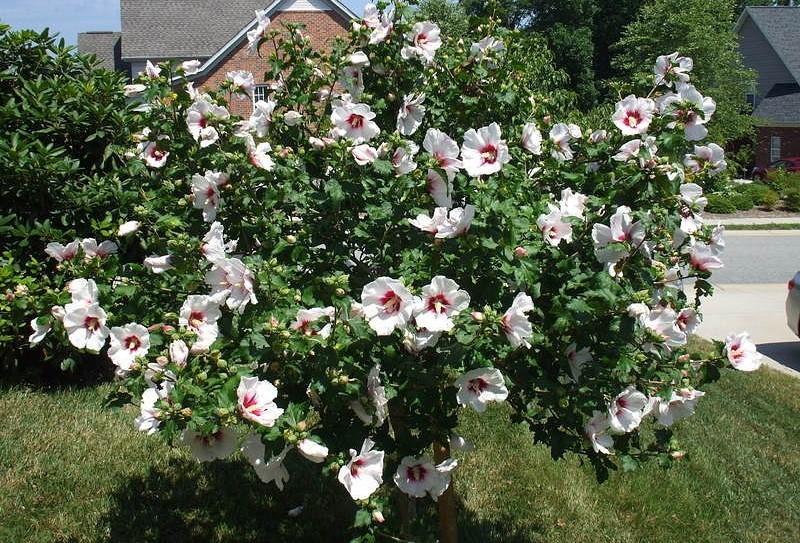Гибискус садовый древовидный фото
