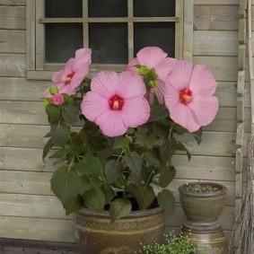 Компактный цветок в глиняном горшке