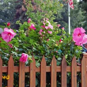 Цветущий кустарник за деревянным забором