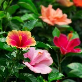 Красивые цветки на ветках гибискуса