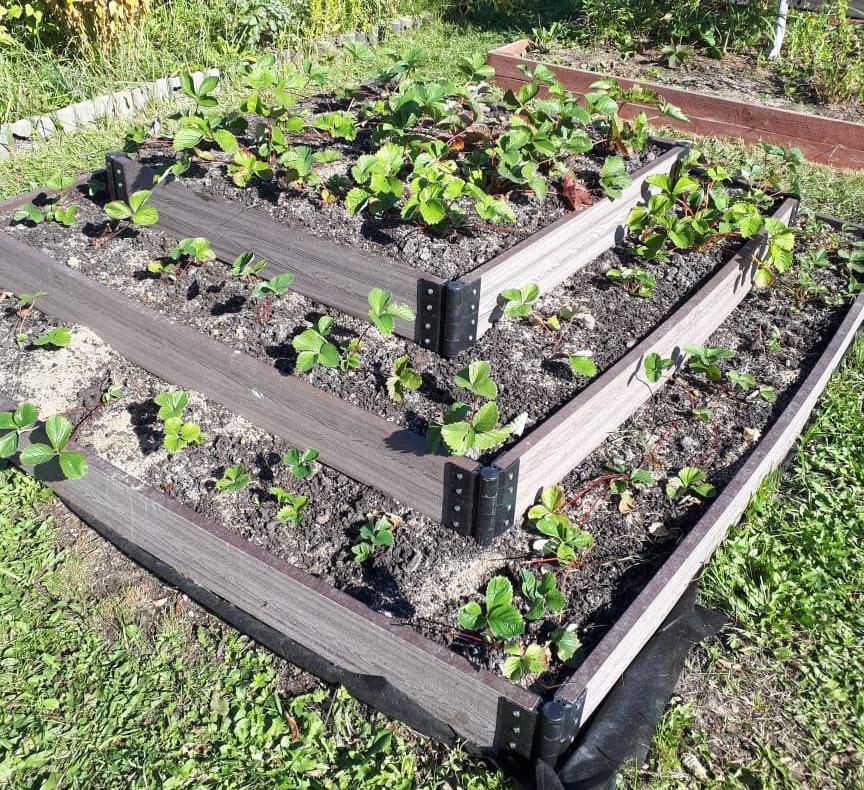 как красиво посадить клубнику на даче фото родители