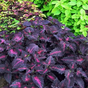 Темно-фиолетовые листья с розовыми прожилками