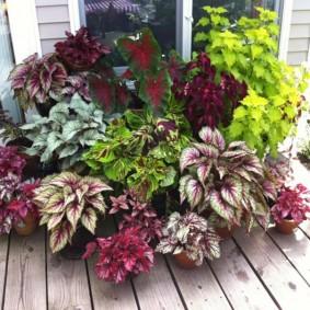Подборка колеусов для цветочной клумбы