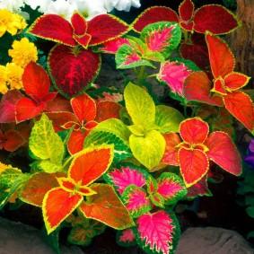 Яркие листья декоративных однолетников