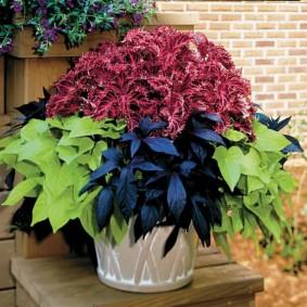 Контрастные листья на домашних цветках