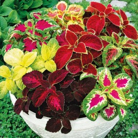 Садовый вазон с кустиками колеусов