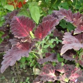 Темно-фиолетовые листочки на садовых колеусах