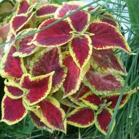 Светло-зеленые края на листья бардового окраса