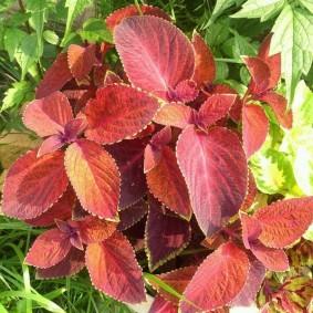 Бардовые листья на декоративном колеусе
