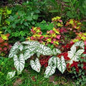 Фото колеусов на фоне зеленой листвы кустарников