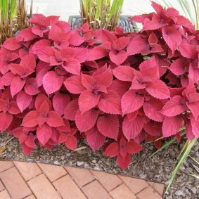 Однотонная окраска листьев колеусов