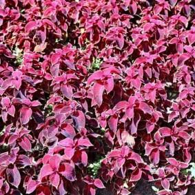 Цветочный ковер из неприхотливых растений