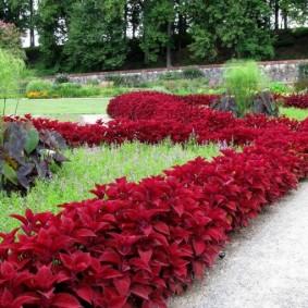 Бардовые листья на однолетних цветах
