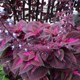 Розовая сердцевина на фиолетовых листьях