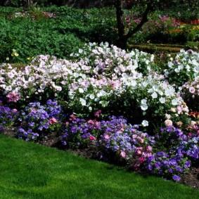Белая лаватера на клумбе с синими цветами
