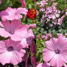 Ребристые лепестки розовой окраски