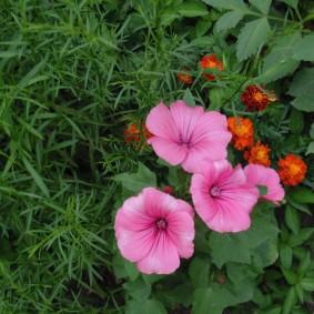 Невысокий кустик с красивыми цветами