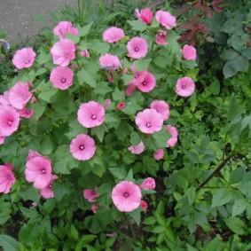 Воронкообразные цветки на однолетнем растении