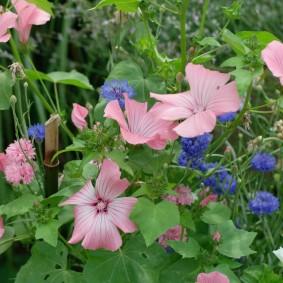 Розовые полоски на цветках гибридной лаватеры