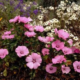 Огромные цветки на кустиках многолетнего растения