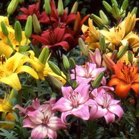Микс из разноцветных лилий на садовой клумбе