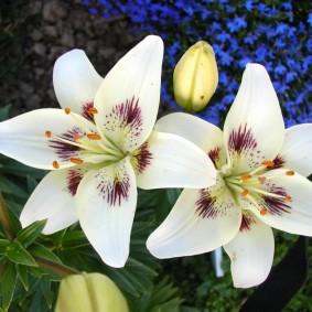 Крупные цветки белой лилии с фиолетовыми пятнами
