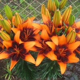Оранжевые лили вдоль забора из сетки рабицы