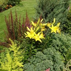 Желтые лилии среди травянистых многолетников