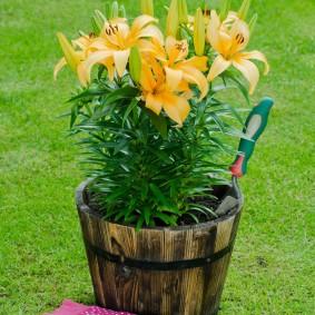Желтые лилии в деревянном горшке
