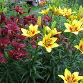 Композиция из лилий разных оттенков в ландшафте сада